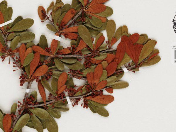 herbarium plant specimen