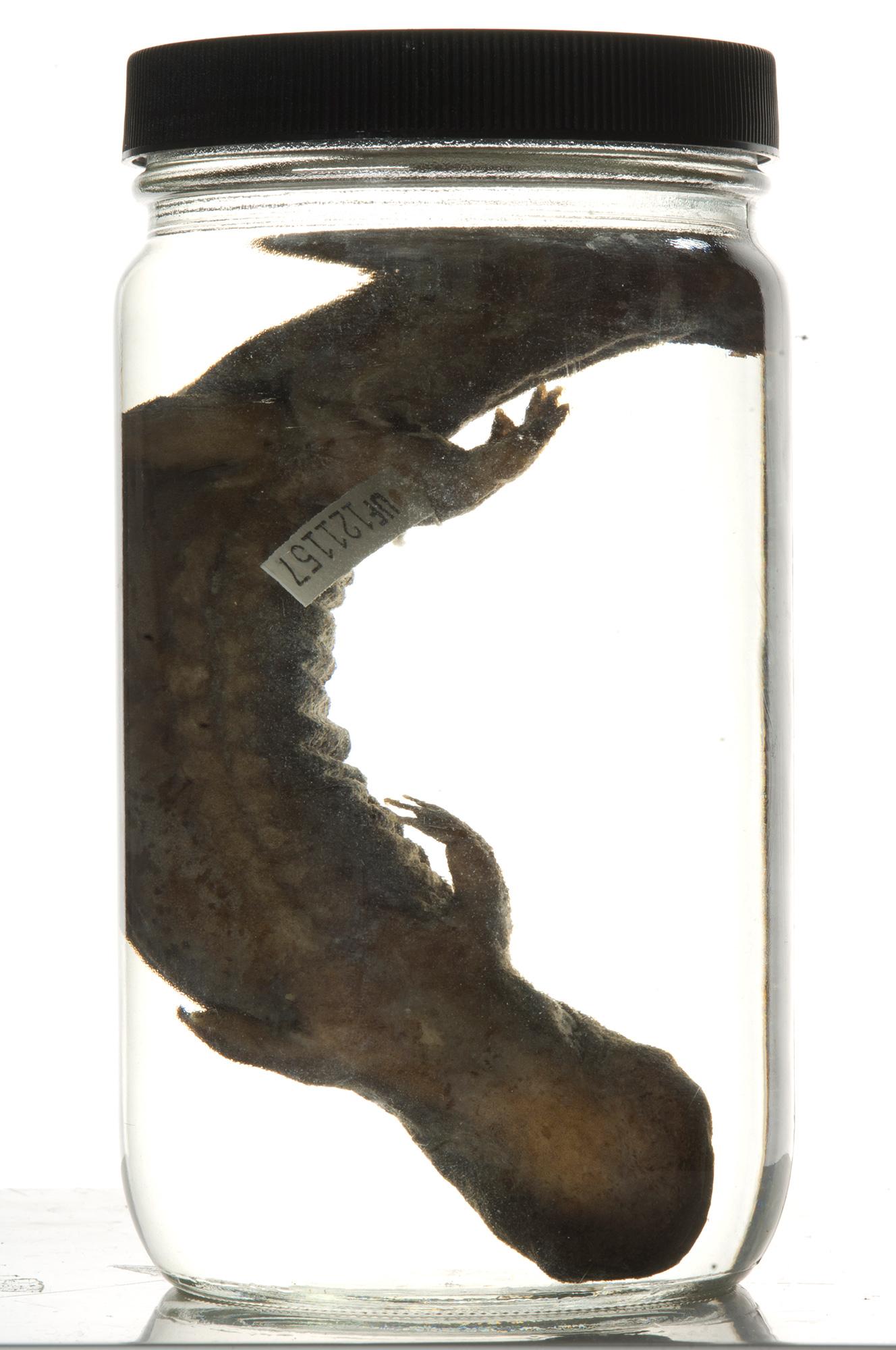 hellbender salamander specimen
