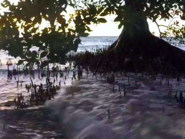 Hodel mangroves video still