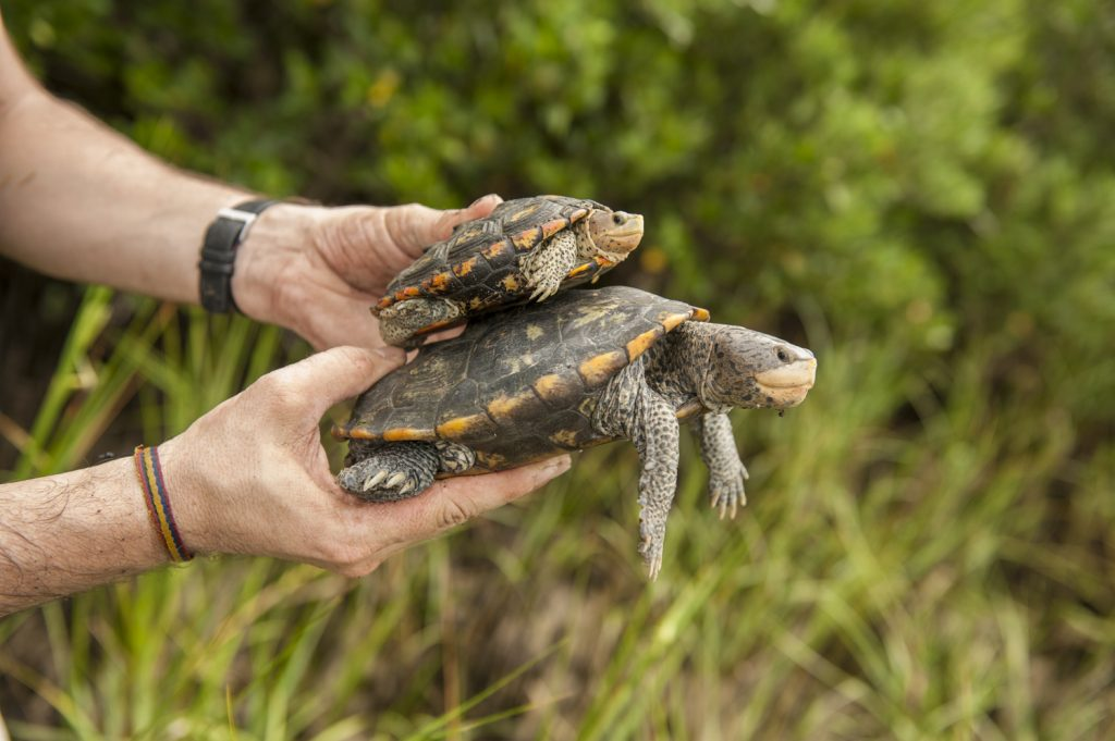 male terrapin compared to a female