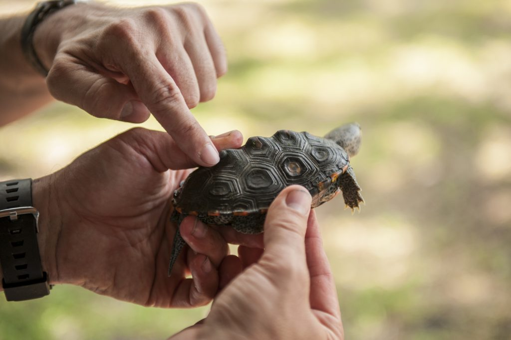 counting rings on a terrapin's carapace