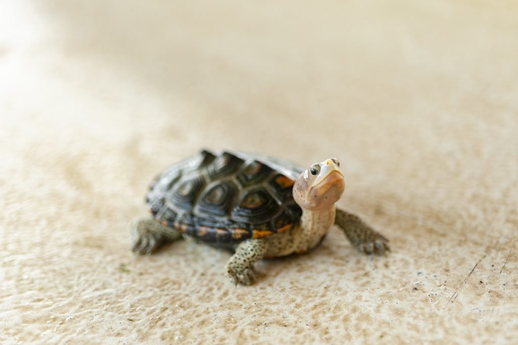 Close-up photo of a terrapin.