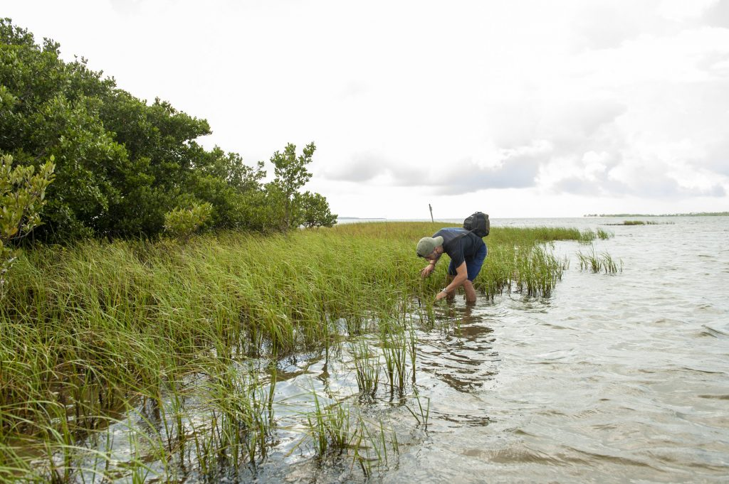 A UF grad student looks in the sea grasses for a turtle.