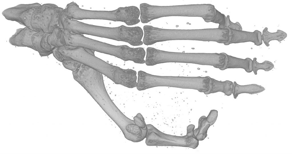 CT scan of lemur foot