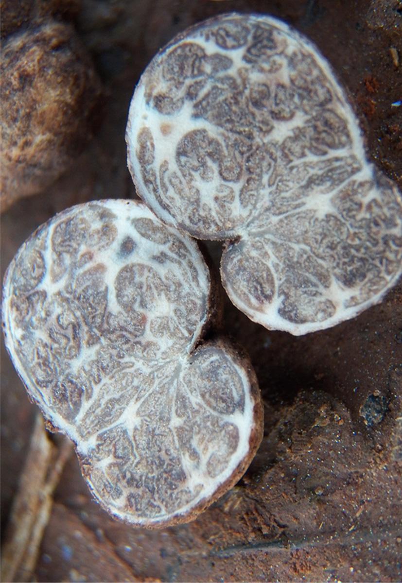 truffle mushroom cut in half to show interior