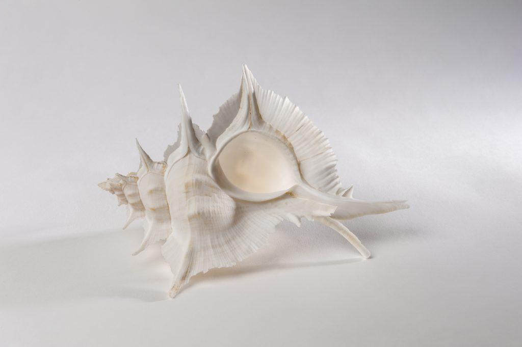 alabaster shell specimen