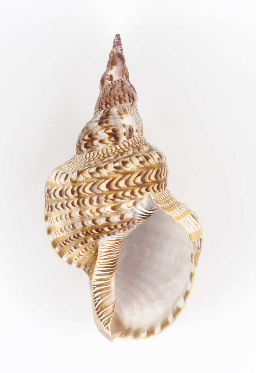 sea snail specimen