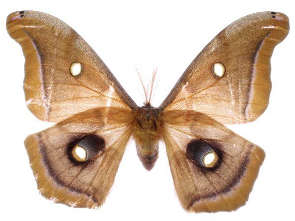 Antheraea polyphemus moth