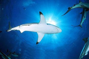 The blacktip shark, Carcharhinus limbatus, is the most common culprit in a majority of shark attacks, known for its