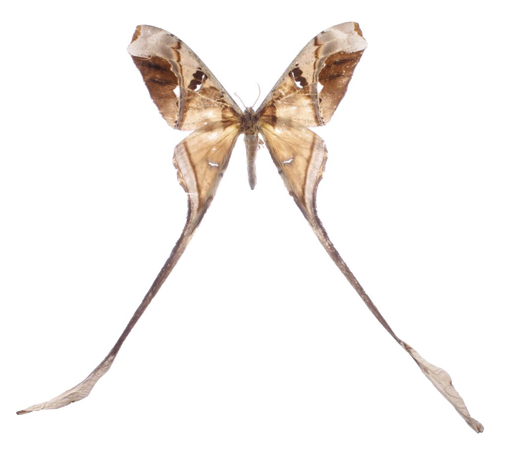 moth with long tails
