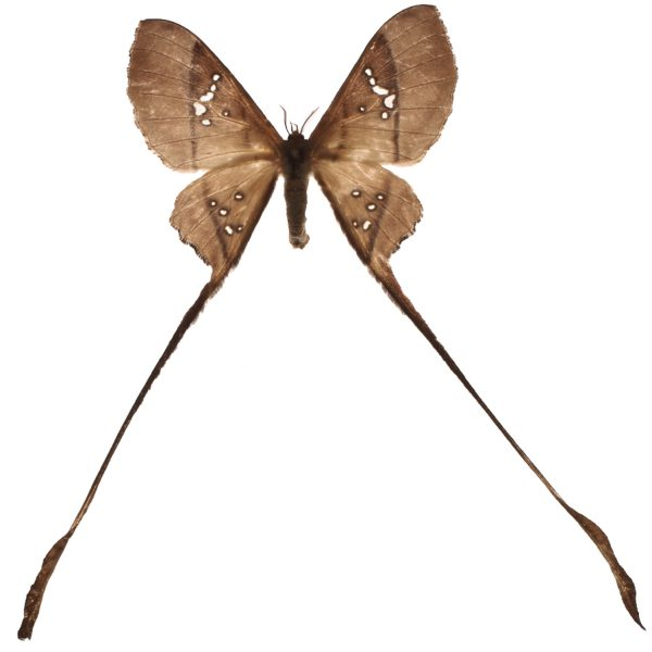 long tailed moth
