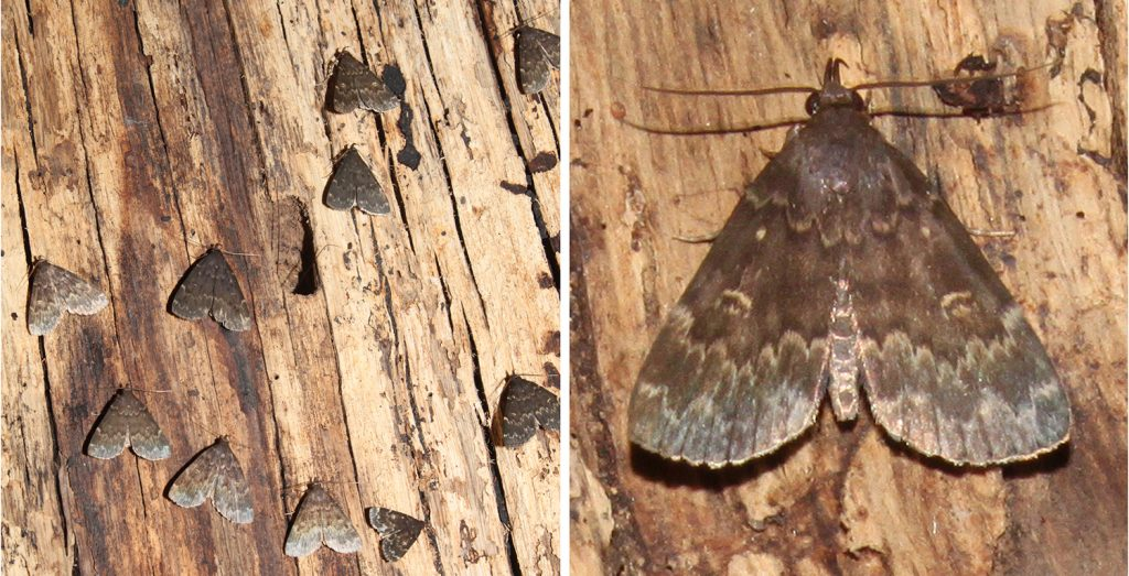 Glossy black Idia moths