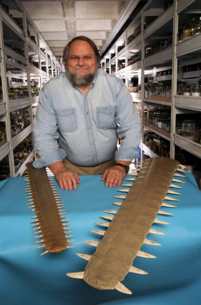 George Burgess displays the rostra of a smalltooth and largetooth sawfish in the museum ichthyology collections. UF photo by Ray Carson