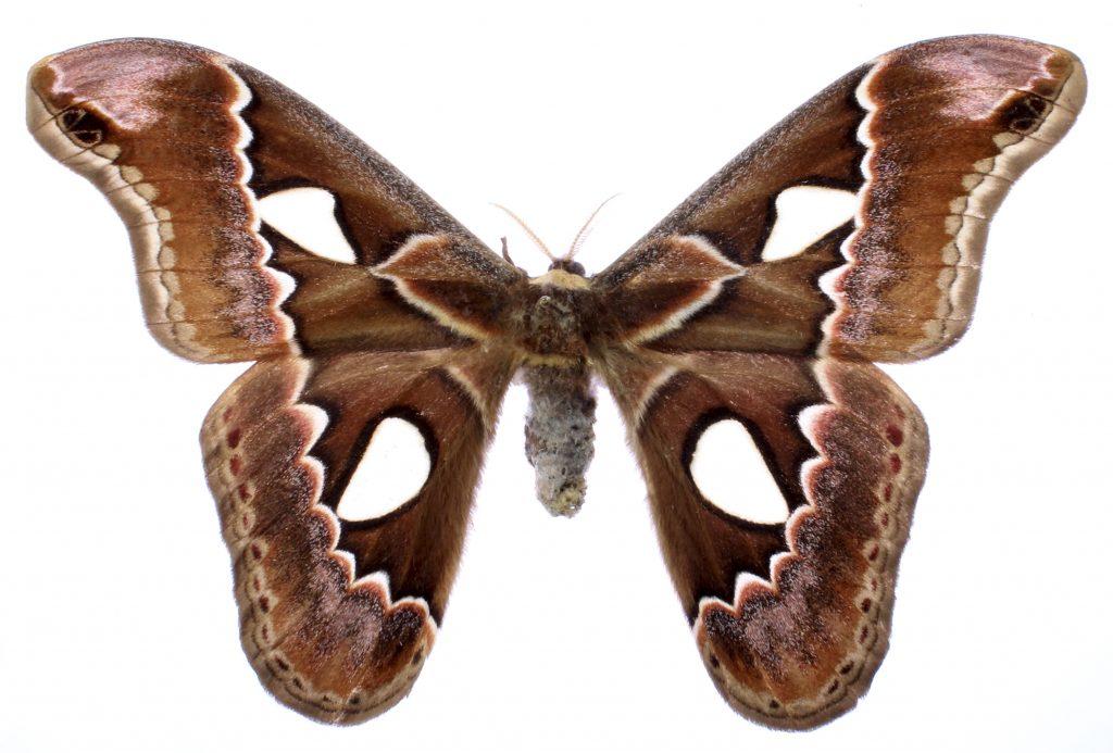 Rothschildia erycina moth