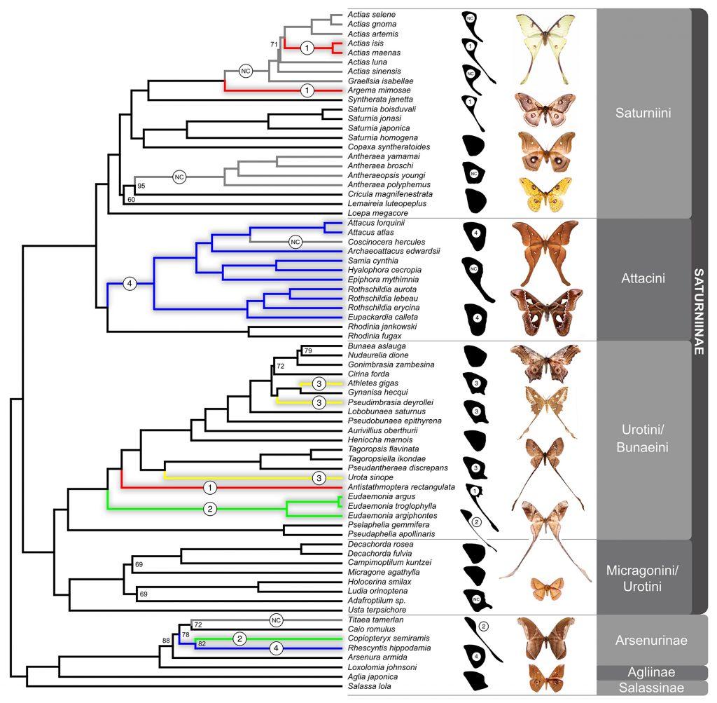 Saturniidae family tree