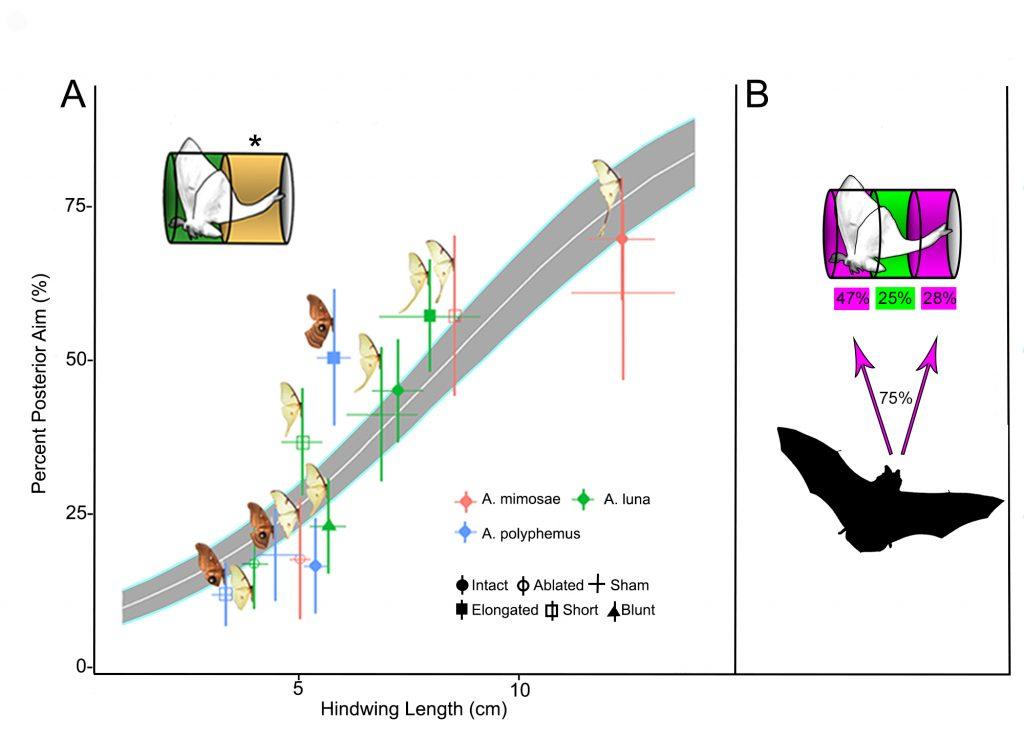 chart showing more attacks as hindwing length increases