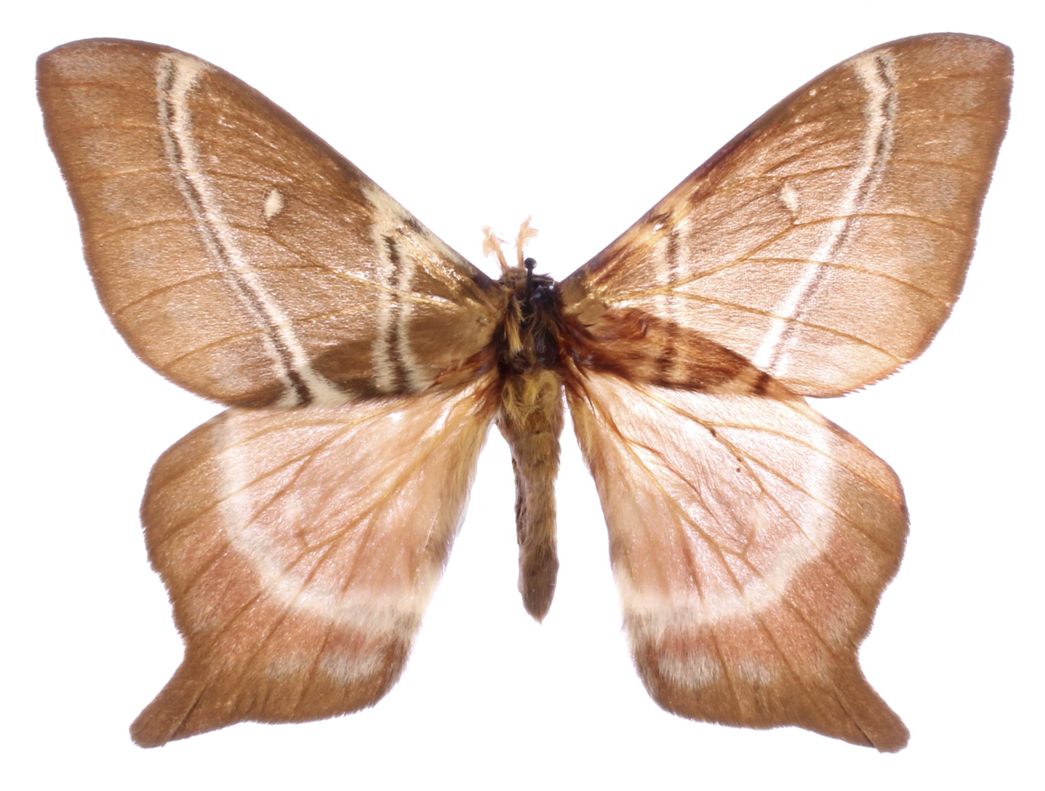 LPB026 A//A Butterflies /& moths Papilio