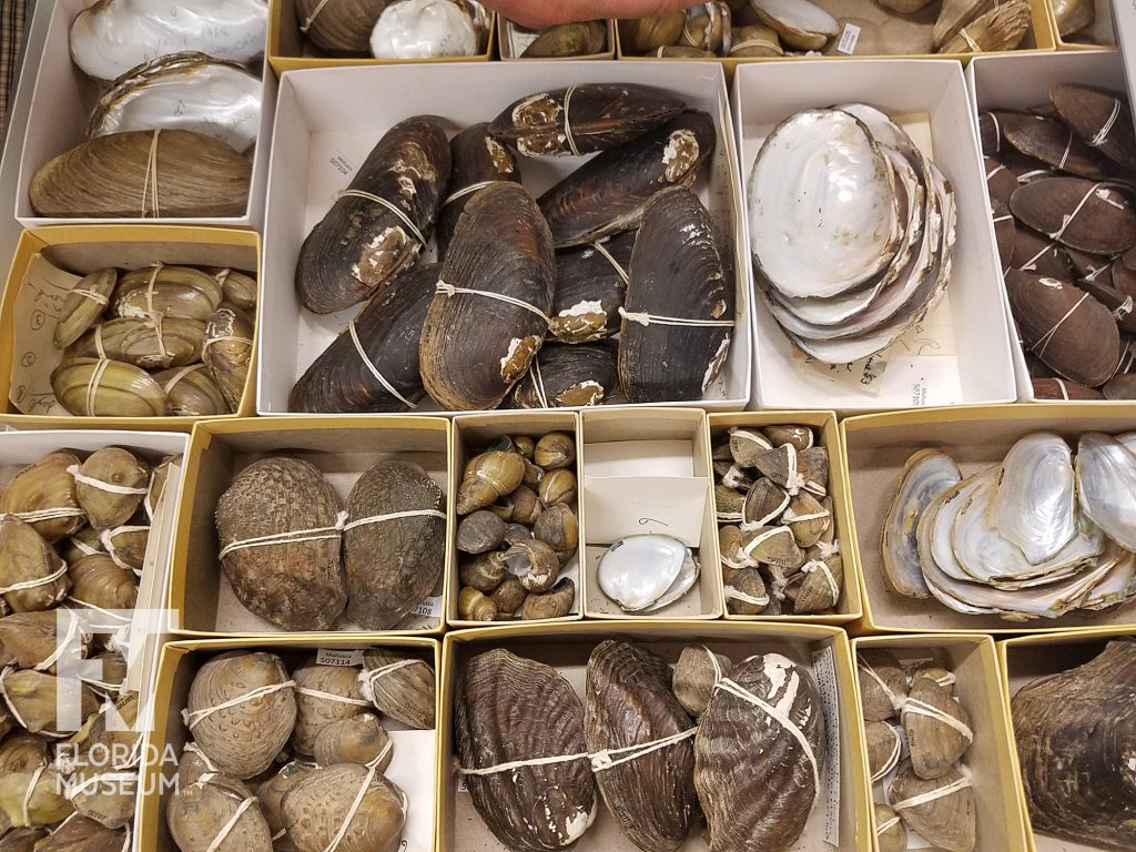 drawer of mussel shells