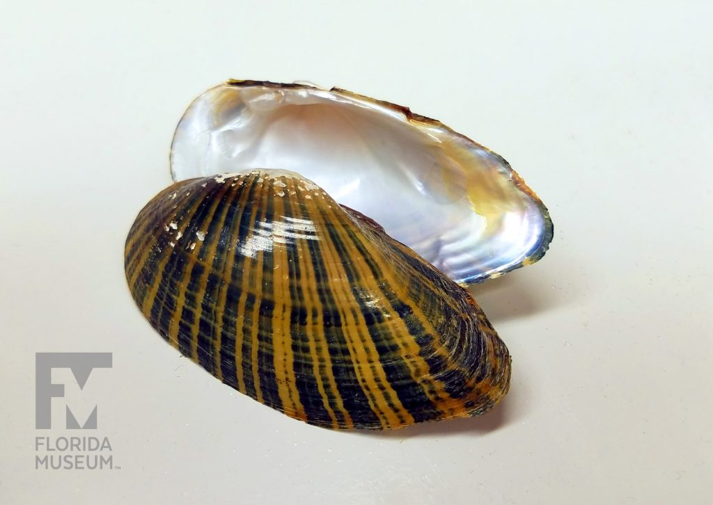 river mussel shell