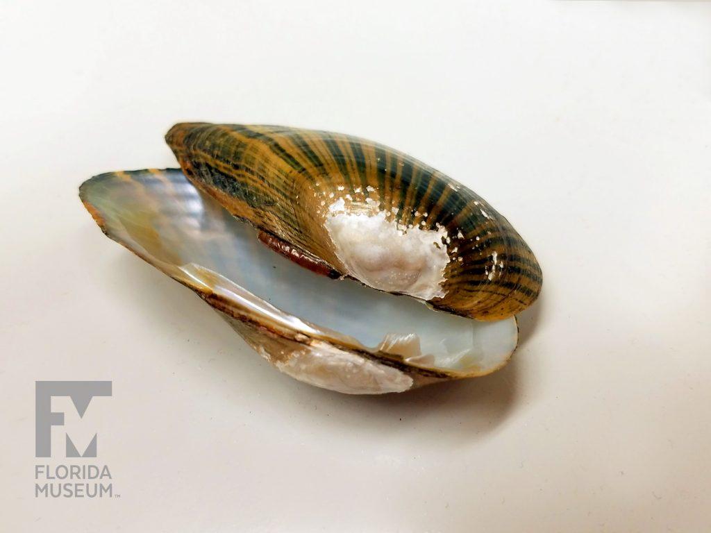 river mussel specimen
