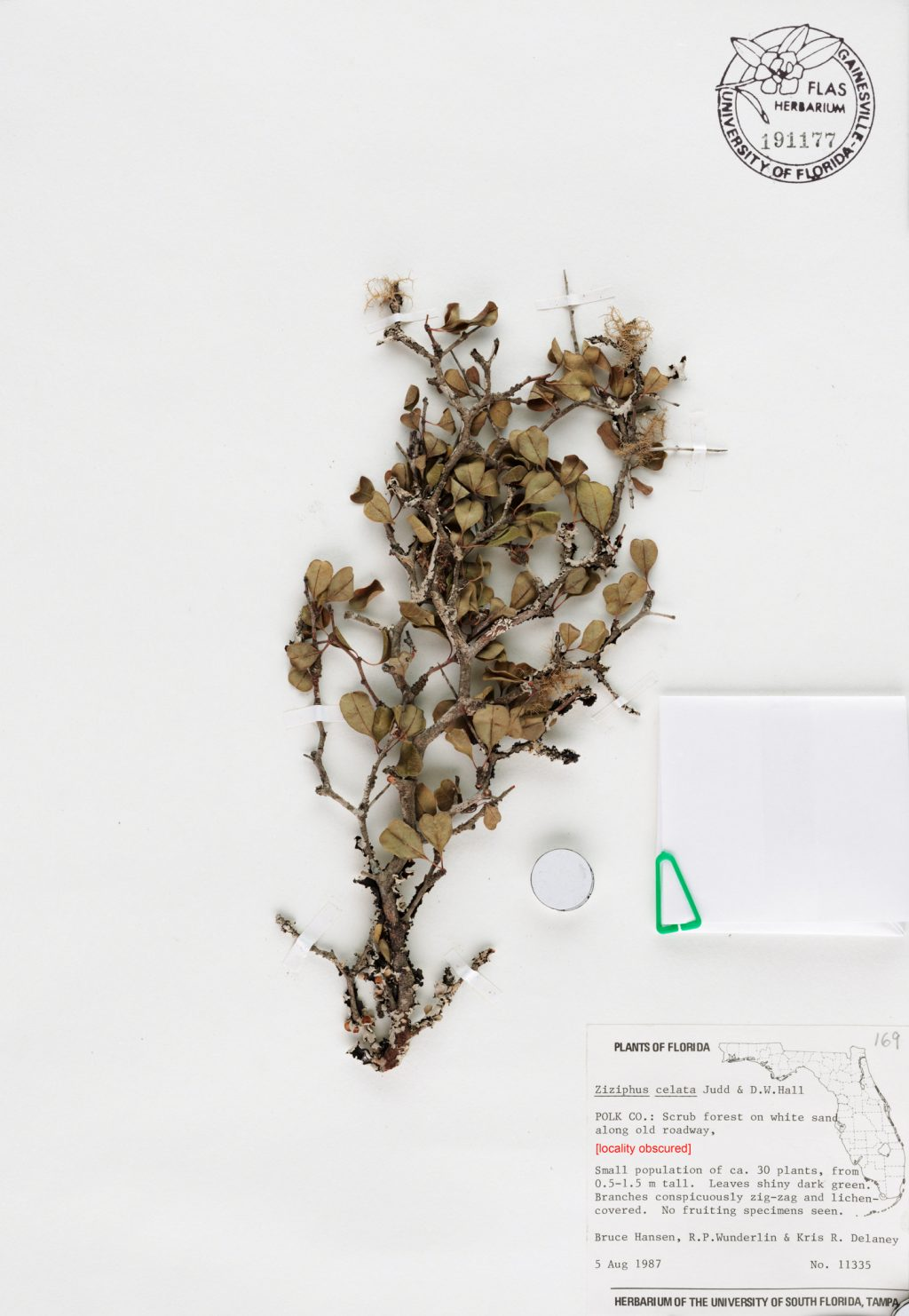 dried plant specimen