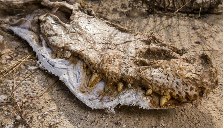 alligator skull fossil