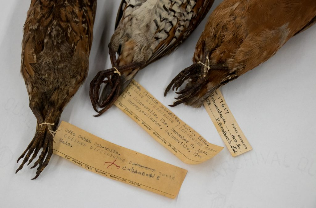 three typed and handwritten specimen labels tied to ankles of birds