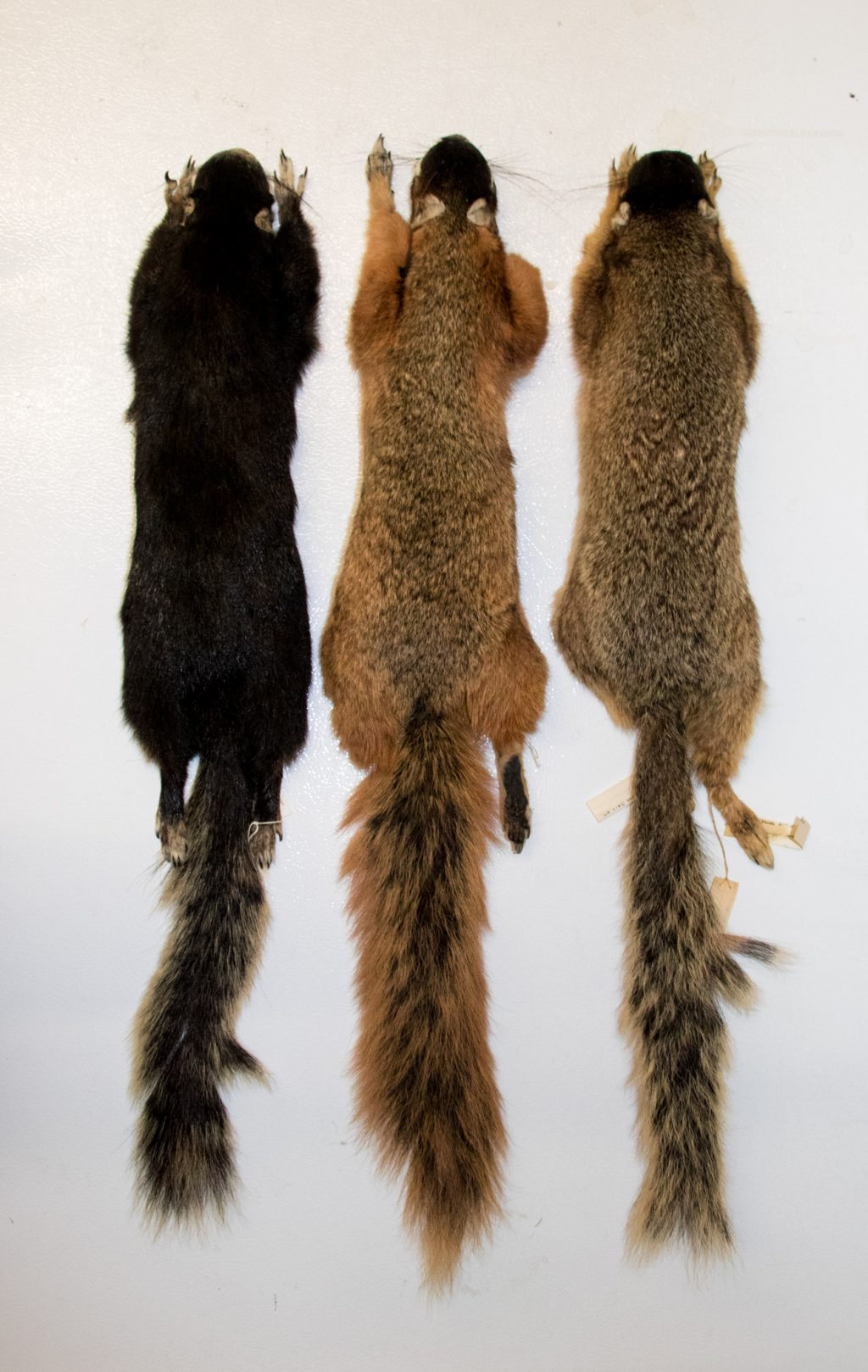 three fox squirrel specimens