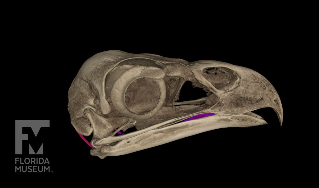 CT scan of an eagle head
