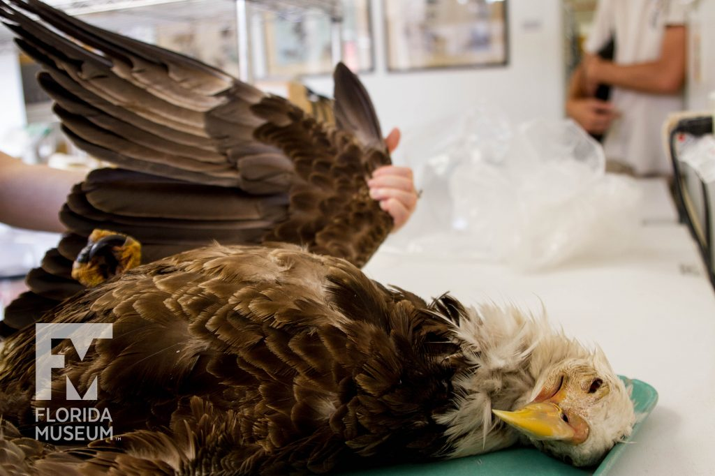 A researcher extends an eagle wing from the rest of the specimen