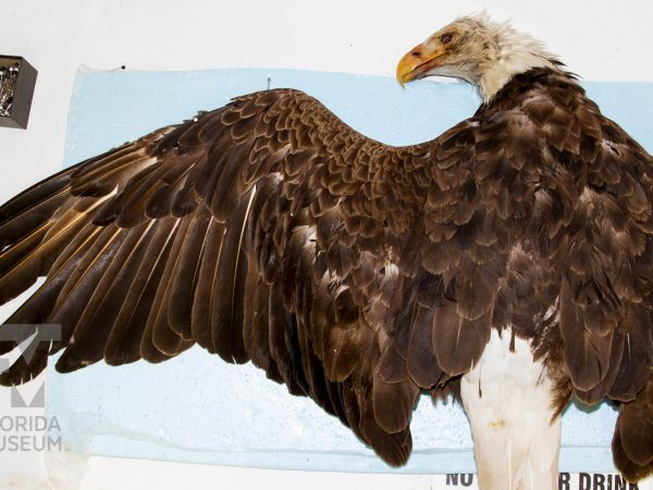 An eagle specimen pinned to a cloth, ready to be prepared by researchers