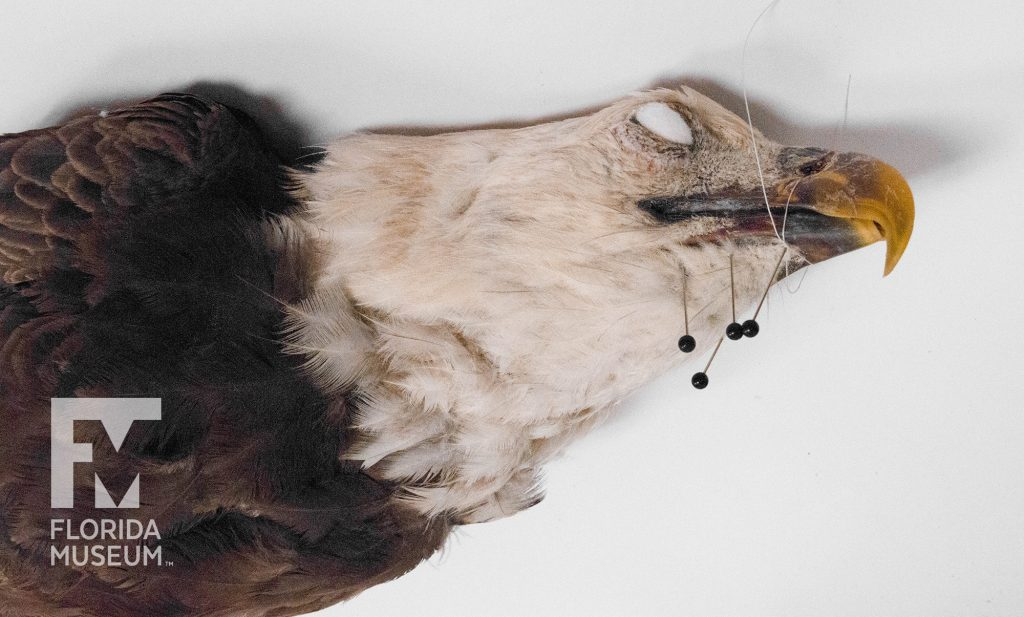 An eagle specimen with its beak tied and pinned, being prepared by researchers