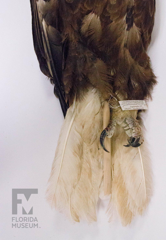 An eagle specimen's tail and talon