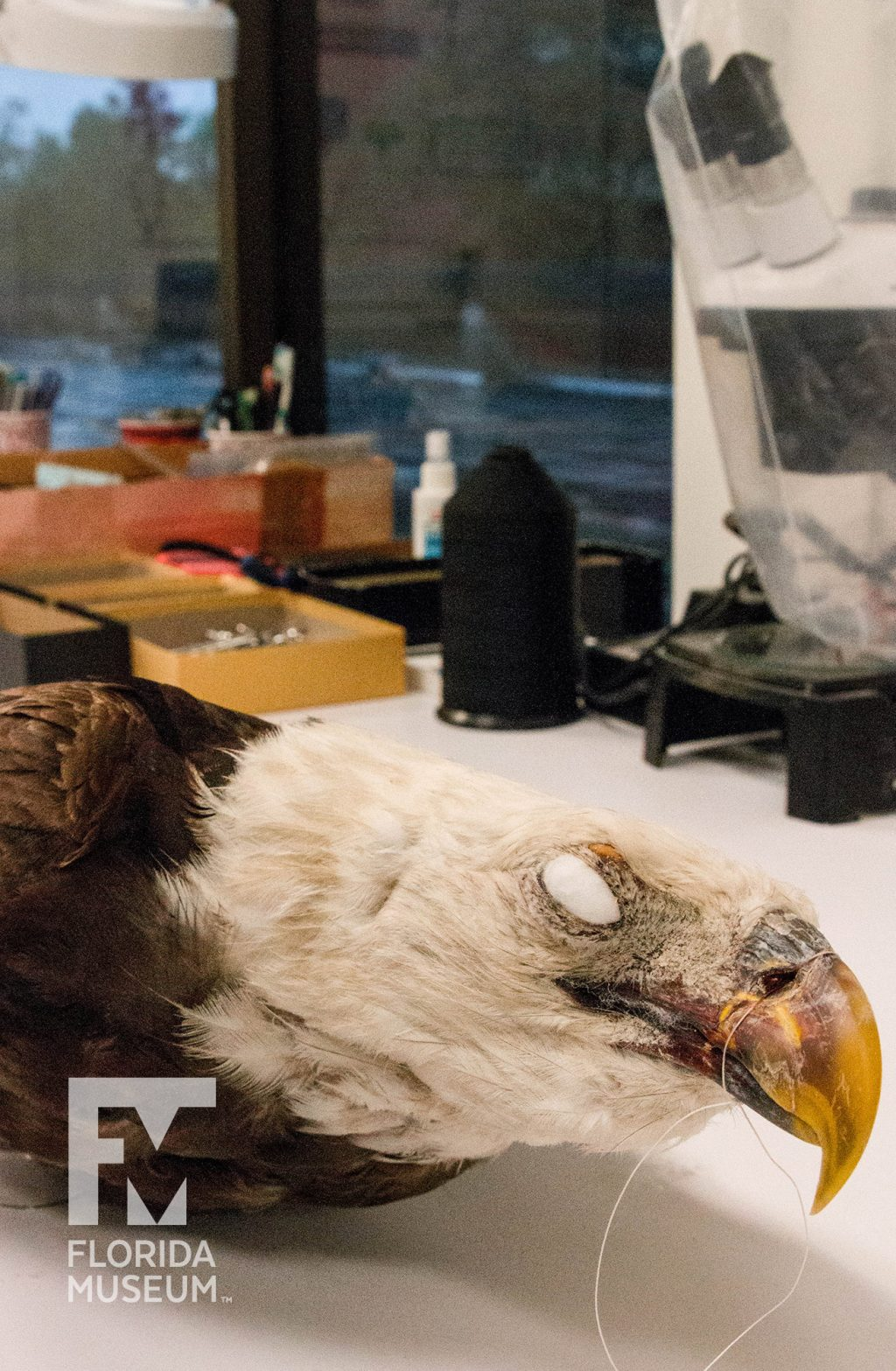 A prepared eagle head, with its beak tied and eyes removed