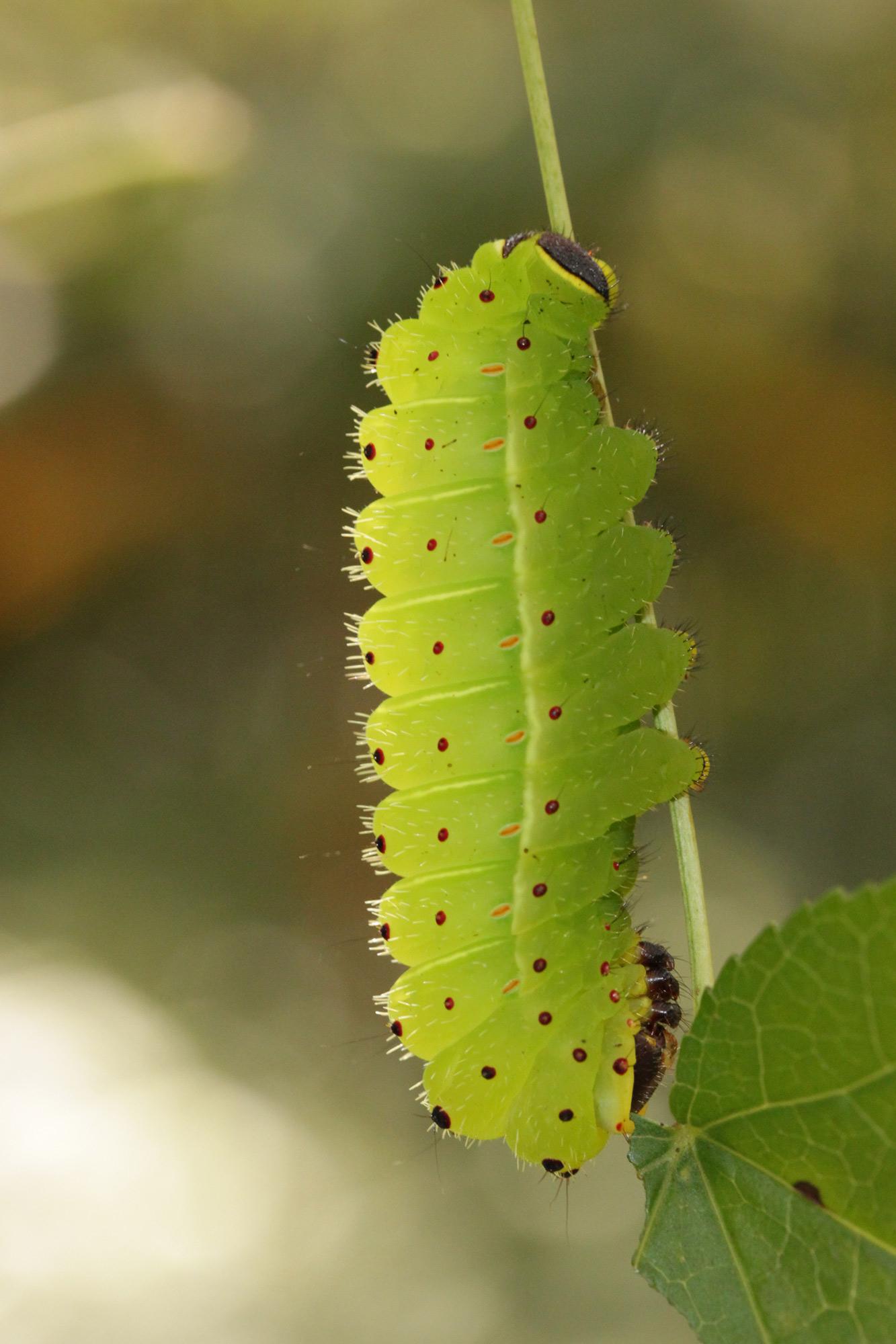 Luna moth caterpillars vs. brown anoles – Florida Museum