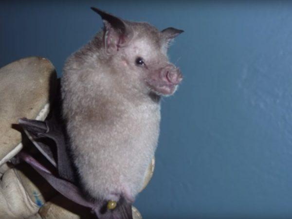 A white bat in a researcher's glove
