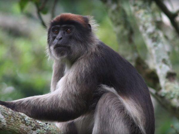 A monkey with bronze hair on its head sits in a tree