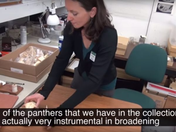 A researcher discusses a panther specimen from the Florida museum mamallogy collection
