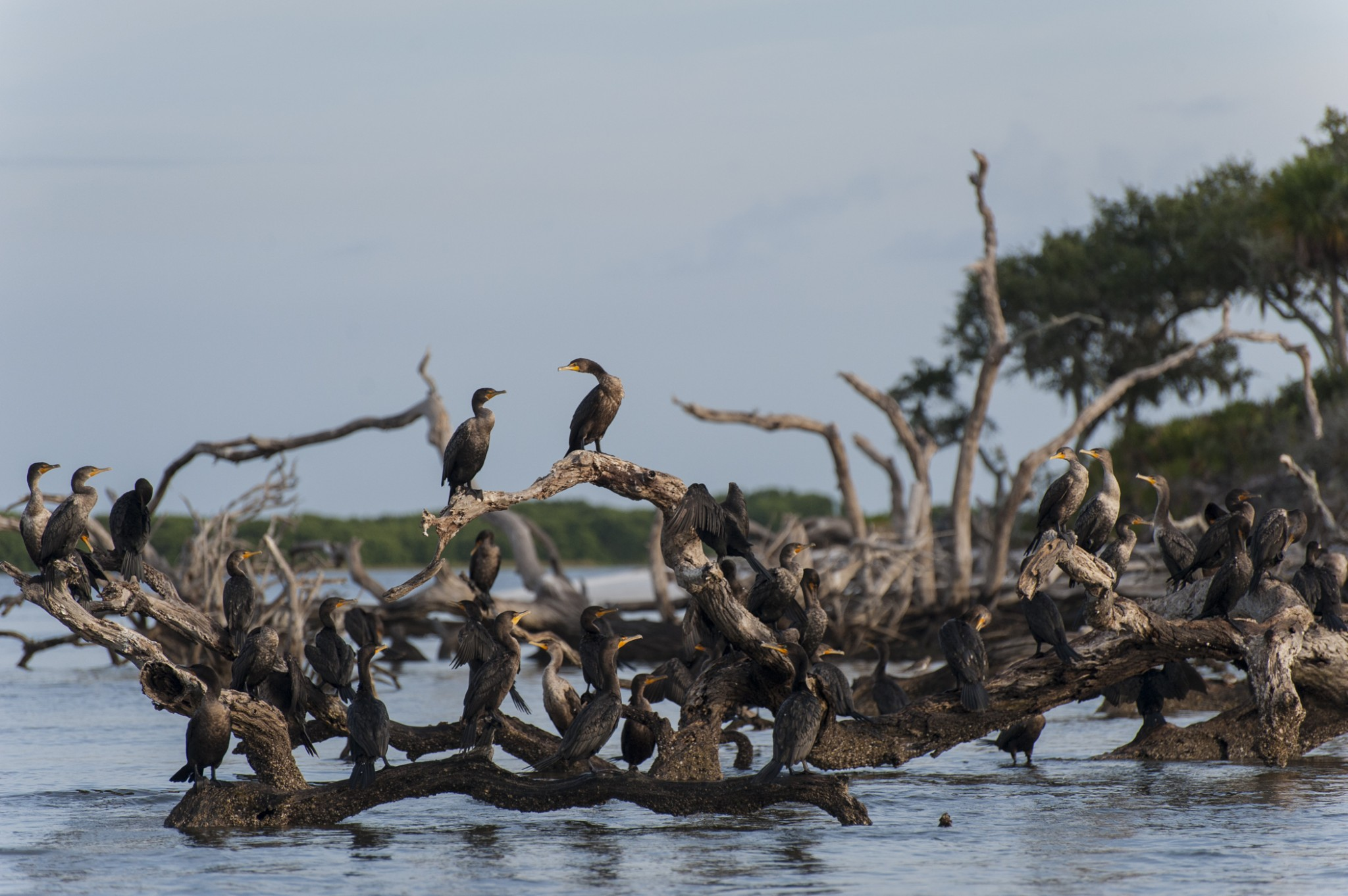 birds on dead wood in water