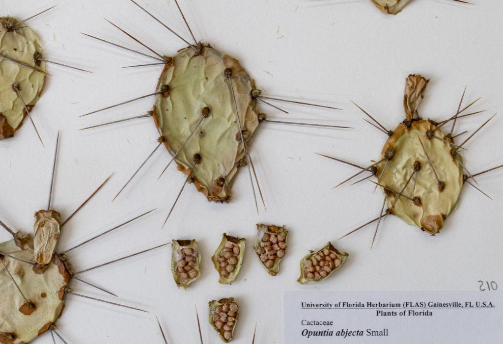 Pricklypear cactus specimen