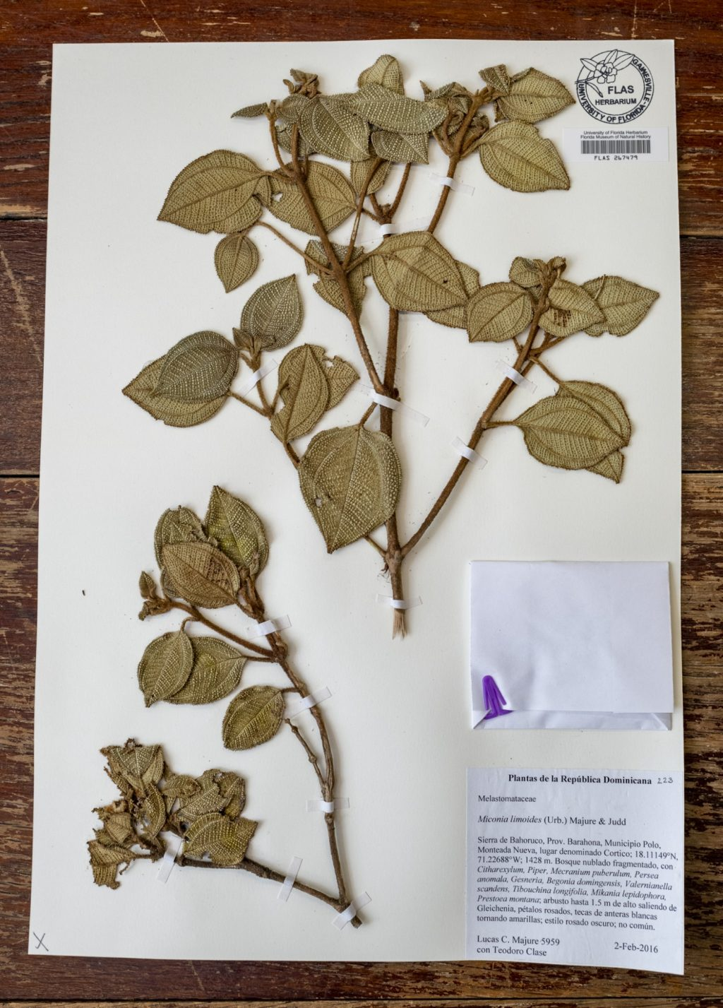 FLAS specimen with textured leaves.