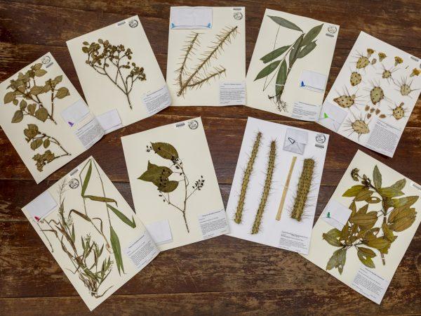 Herbarium specimens on a table.