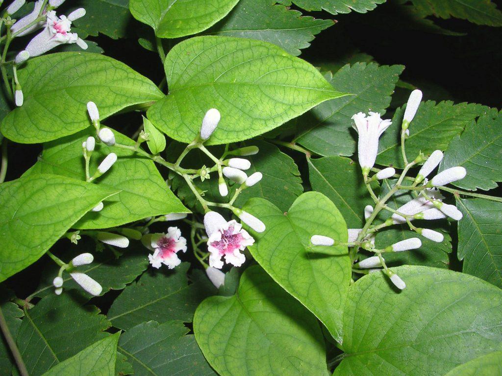 skunkvine flowers