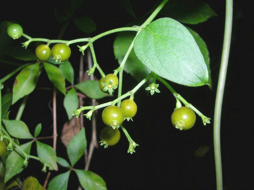 skunkvine berries