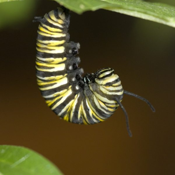 A monarch caterpillar hangs from a leaf.