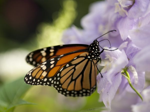 A monarch feeds on a purple flower