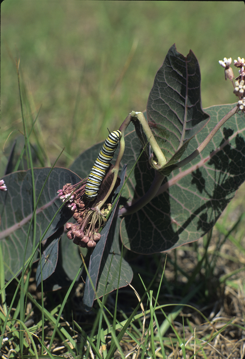 A monarch caterpillar feeds on a milkweed plant