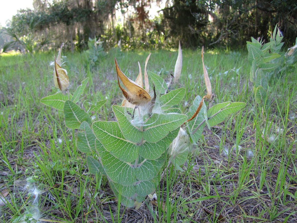 milkweed plant growing in field