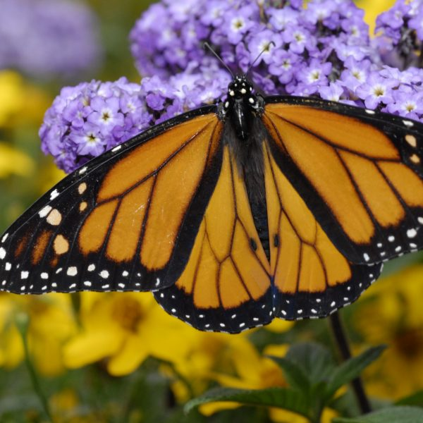 A monarch butterfly feeds on a purple flower