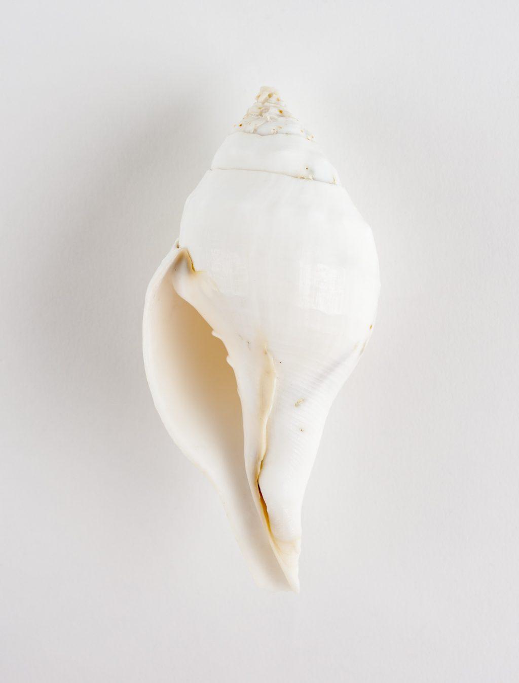 left-handed spiral sacred chank shell